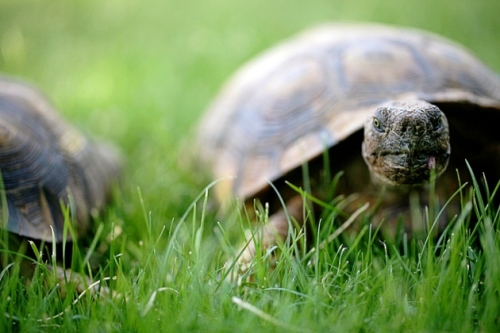 La grande tortue du désert voit son taux de mortalité diminuer avec l'âge. ©Barbara Carroll/Getty